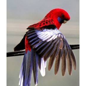 Rosella Mutación Roja